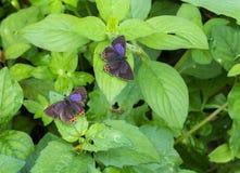Purple Saffire butterfly Pair open wing, Heliophorus epicles