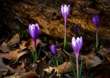 Purple saffron flowers under the stump in forest Royalty Free Stock Photos