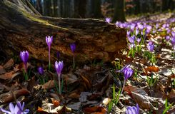 Purple saffron flowers under the stump in forest. Beautiful spring nature scenery royalty free stock photos