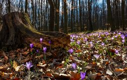 Purple saffron flowers under the stump in forest. Beautiful spring nature scenery Royalty Free Stock Image
