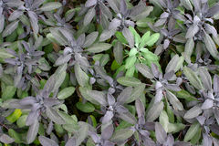Purple Sage stock photos
