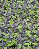 Purple sage Stock Image