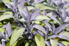 Purple sage Royalty Free Stock Photography