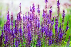 Purple sage flowers on green grass blurred bokeh background closeup, blooming violet salvia field stock images