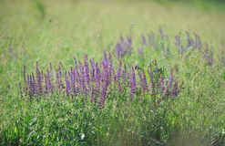 Purple sage flowers in the meadow. Royalty Free Stock Photos