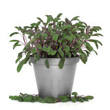 Purple Sage Herb Plant Royalty Free Stock Image