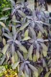 Purple sage herbs growing in the garden Royalty Free Stock Photography