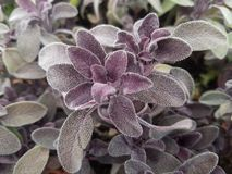 Purple sage herbs salvia. Closeup of plants for sale at the farmer`s market in Union Square Greenmarket. Nature aromatherapy herb for cooking and medicinals