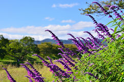 Purple sage and landscape of Kamo riverside Kyoto Japan stock photos