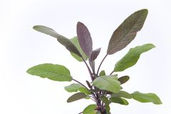 Purple sage leaves. On White Background royalty free stock images