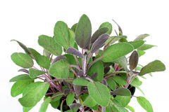 Purple Sage Plant. Close up detailed view of a purple sage plant, slanted towards viewer.  On white with copy space Stock Image