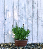Purple sage in planting pot against white planks Stock Photos