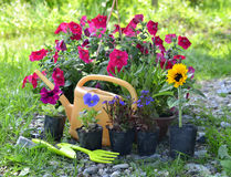 Purple sage in planting pot against white planksBeautiful garden still life with petunia and summer flowers Stock Photography