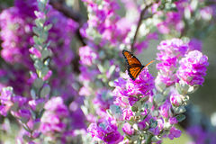 Purple Sage Queen Butterfly Stock Photography