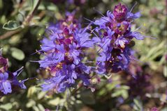Purple Sage Royalty Free Stock Photography
