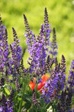 Purple sage, salvia with green background. Royalty Free Stock Photography