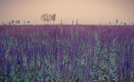 Purple Sage at sunset Royalty Free Stock Images