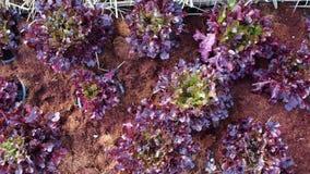 Purple salad. Purple vegetable salad planted on the plot stock video footage