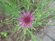 Purple salsify, Tragopogon porrifolius Royalty Free Stock Photos