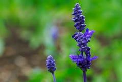 Purple Salvia. A dark purple salvia stalk Stock Image