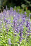 Purple Salvia Royalty Free Stock Images