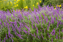 Purple Salvia Stock Photography