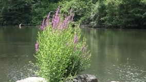 Purple Salvia stock footage