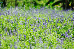 Purple salvia field Stock Photography