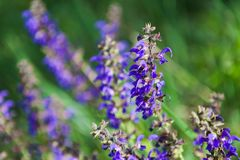 Purple salvia flower close-up. Close up of blue salvia flower blooming on a morning meadow Stock Photos