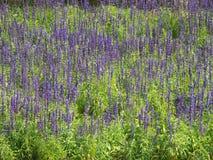 Purple salvia flowers. Field of purple salvia flowers stock image