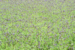 Purple salvia flowers Royalty Free Stock Photos