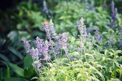 Purple salvia flowers Stock Photography