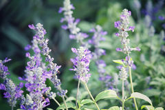 Purple salvia flowers. Close up of purple salvia flowers Royalty Free Stock Images