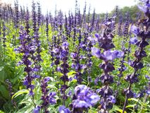 Purple salvia flowers Stock Photos