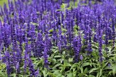 Purple Salvia Flowers In Ireland. Purple Salvia flowers in an Irish field stock image