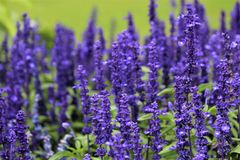 Purple Salvia Flowers In Ireland. Purple Salvia flowers in an Irish field stock photography