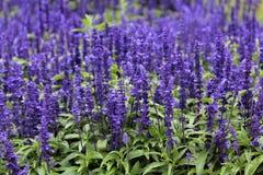 Purple Salvia Flowers In Ireland. Purple Salvia flowers in an Irish field stock images