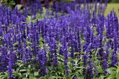 Purple Salvia Flowers In Ireland. Purple Salvia flowers in an Irish field royalty free stock images