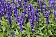 Purple Salvia Flowers In Ireland. Purple Salvia flowers in an Irish field stock photos