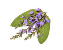 Purple salvia flowers on a isolated Stock Photography