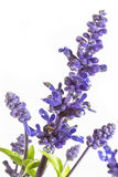 Purple salvia nemorosa plant Royalty Free Stock Images