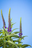 Purple salvia spikes on blue Royalty Free Stock Image