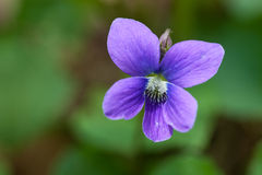 Purple Sand Violet Virginia Wildflower Stock Image