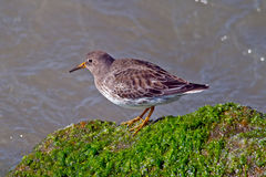 Purple Sandpiper. Standing on some Jetty Moss Royalty Free Stock Photo