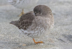 Purple Sandpiper Royalty Free Stock Photos