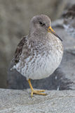Purple Sandpiper. Standing on one leg on a rock Stock Photos