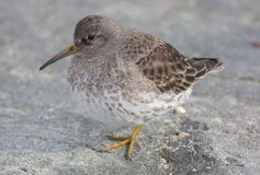 Purple Sandpiper. Standing on a rock Royalty Free Stock Photo