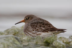 Purple Sandpiper. Photograph of a Purple Sandpiper sitting on pieces of ice along a winter shoreline Royalty Free Stock Image
