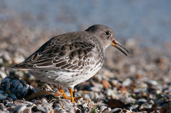 Purple Sandpiper. On the beach stock images