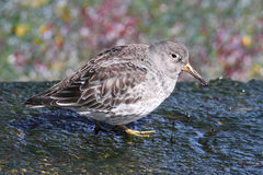 Purple Sandpiper (Calidris maritima) Stock Photo